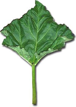 Rhubarb and Leaf