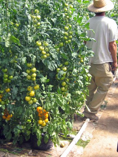 26_yellow_tomato.jpg