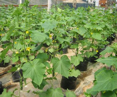 33_cucumbers.jpg